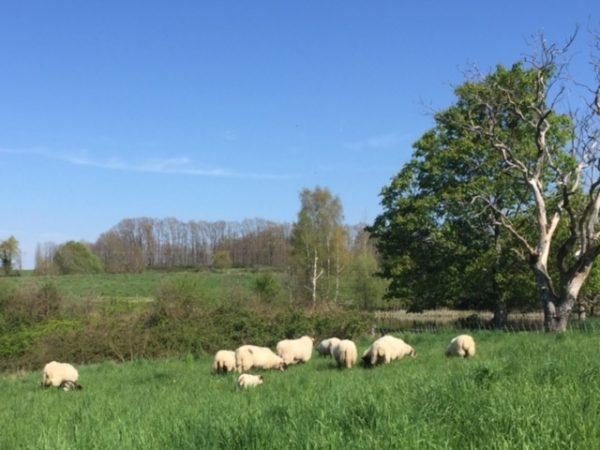 des moutons à Liabaquet gîtes, Sarlande, Dordogne